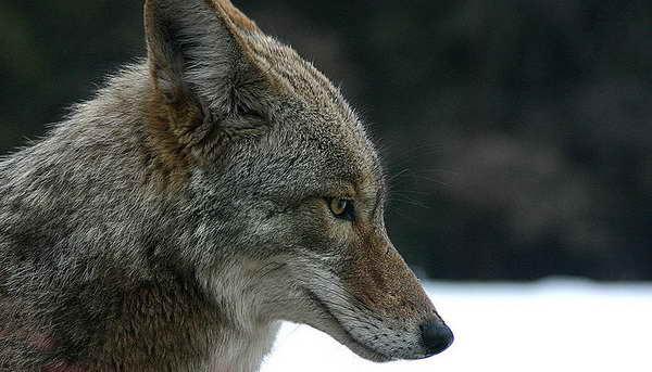 damn coyote