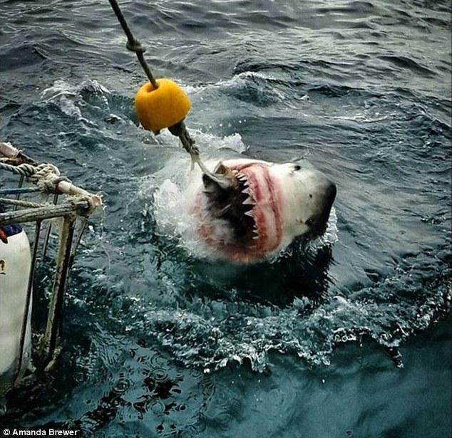 captures white shark