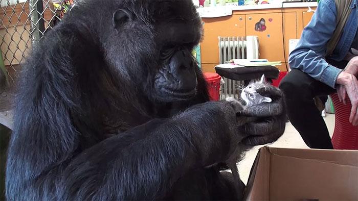 koko-gorilla-6