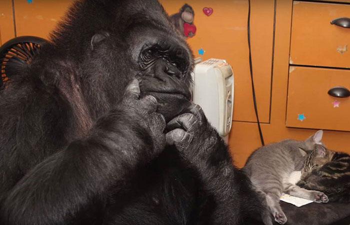 koko-gorilla-7
