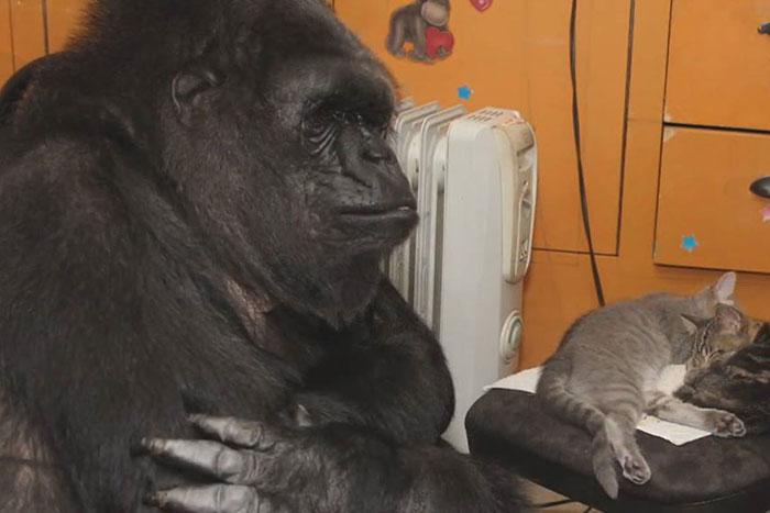 koko-gorilla-8
